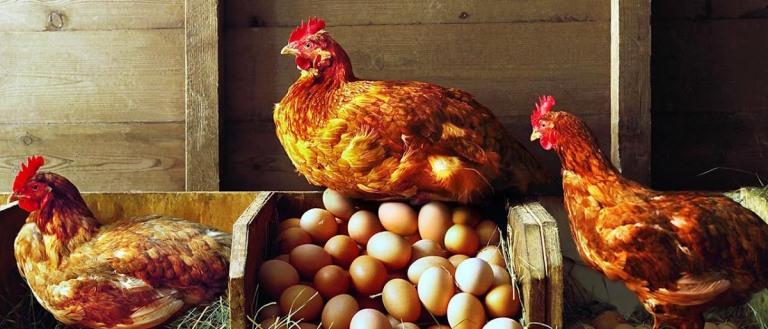 курица и яйца1