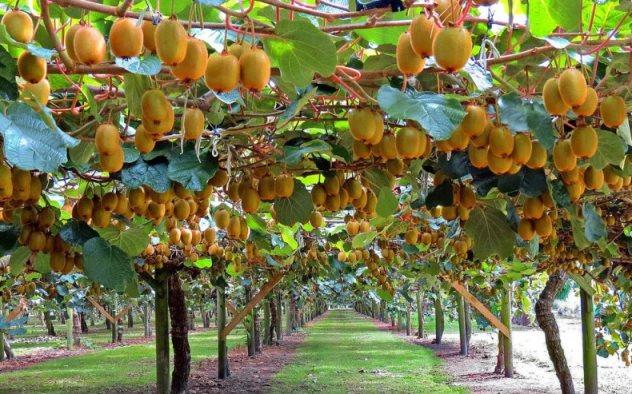 ekzoticheskij-frukt-chem-polezen-kivi