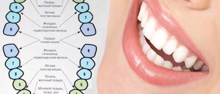 Связь зубов и органов