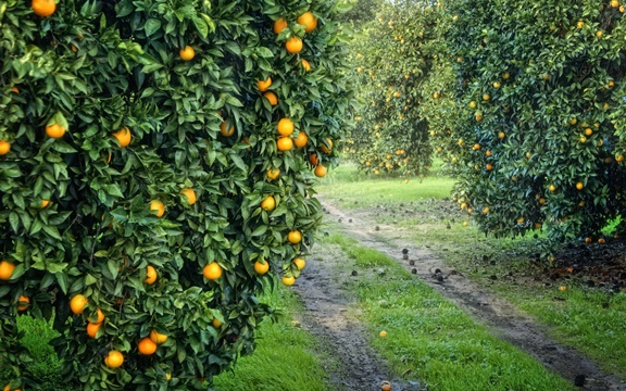 apelsinovoe-derevo
